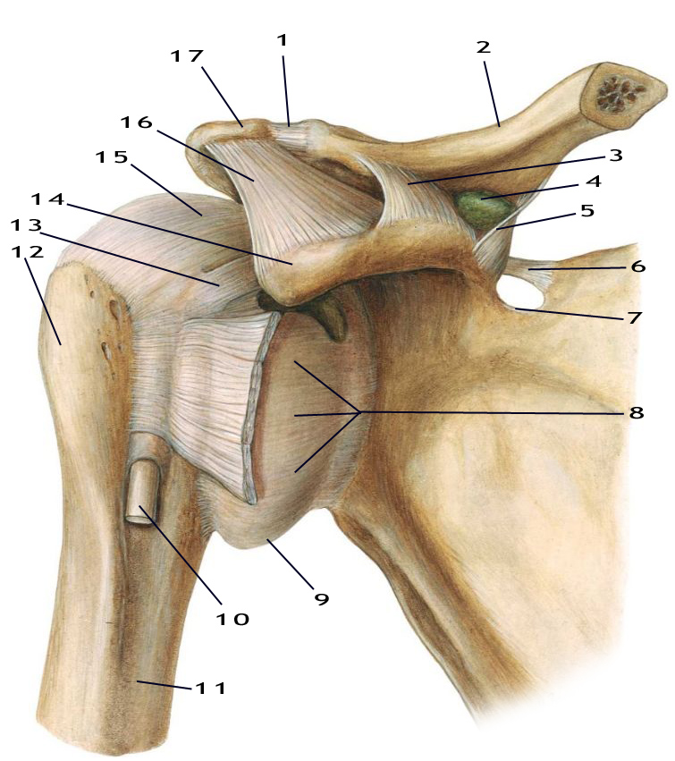 Instituto de Terapias Manuales, Artículo: Anatomía del hombro. Parte ...