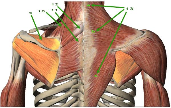 Instituto de Terapias Manuales, Artículo: Músculos de la cintura ...